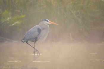 Chassahowitzka National Wildlife Refuge, river, great blue heron, Ardea herodias, fog