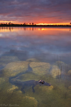 alligator, sunset, pine glades lake, everglades, florida, nature, photography, florida national parks