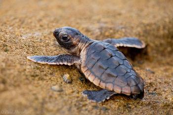 Caretta caretta, loggerhead, sea, turtle, baby, little, jupiter, florida, sea turtle