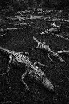 alligator, everglades national park, florida,