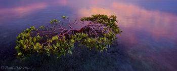 Red Mangrove, Rhizophora mangle, florida, keys, florida keys, south florida, nature, photography