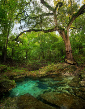 suwannee, river, spring, oak, , florida, north florida, nature, photography