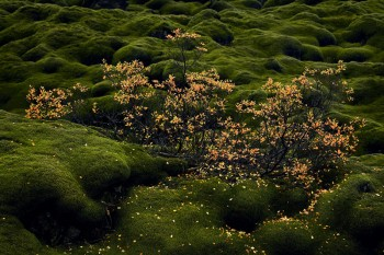 moss, fall, bushes, laki, Iceland