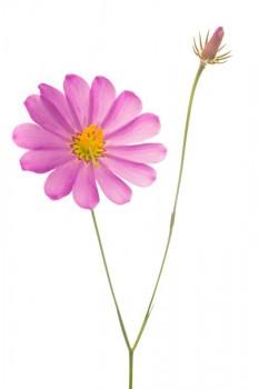 Bartram's Rosegentian (Sabatia bartramii)