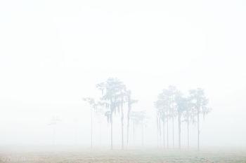 fog, pines, field, florida, south florida, nature, photography