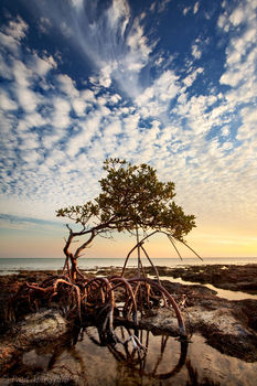 Red Mangrove, Rhizophora mangle, florida, keys, florida keys, south florida, nature, photography,