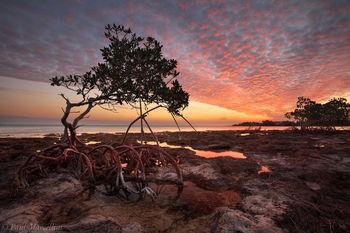 red mangrove, rhizophora mangle, sunset, florida, keys, florida keys, south florida, nature, photography