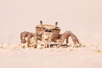 uca, fiddler crab