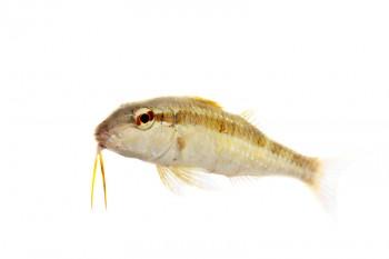 Spotted Goatfish, Pseudupeneus maculatus, biscayne