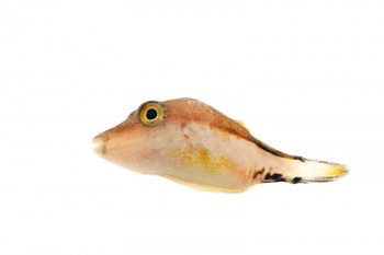 Sharpnose Puffer, Canthigaster rostrata