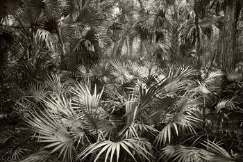 Saw Palmetto, Serenoa repens, Cabbage Palms, Sabal palmetto, fisheating, creek wildlife management, Fisheating Creek, florida, south florida, nature, photography,