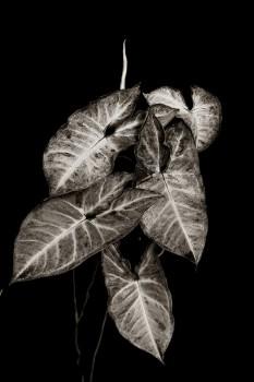 bw, monochrome, plants, flora, syngonium