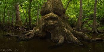 Chipola River Floodplain, Florida Caverns State Park, FL, tupelo, florida, north florida, nature, photography