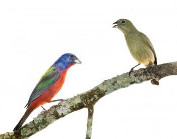 Painted Bunting, Passerina ciris, bird, red