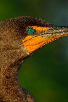Double-crested Cormorant, Phalacrocorax auritus, everglades national park, florida