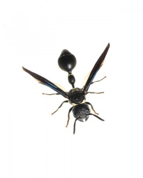 Potter Wasp, Zethus spinipes