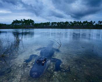 everglades, florida, alligator, wide-angle