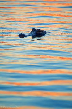 blue and orange, gator, everglades national park, florida