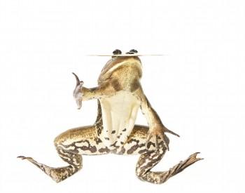 Pig Frog, Rana grylio