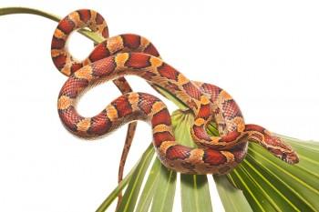 Pantherophis guttatus guttatus, red rat snake, snake, corn snake