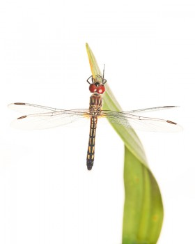 Pachydiplax longipennis, blue dasher
