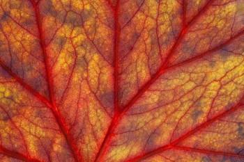 begonia, leaf