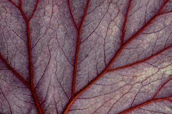 begonia, leaf, veins