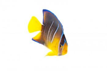 Blue Angelfish,juvenile, Holacanthus isabelita