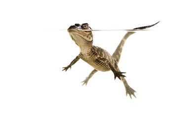 American Alligator, Alligator mississippiensis, everglades, florida