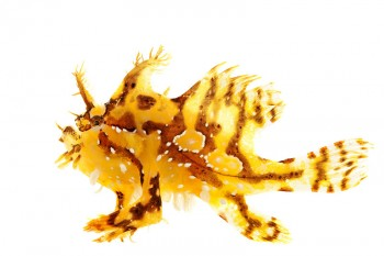 sargassum fish, anglerfish or frog fish, Histrio histrio