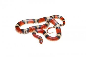 Scarlet Snake, Cemophora cocinnea