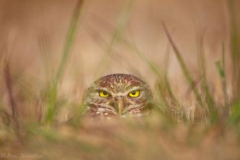 Burrowing Owl, Athene cunicularia, owl