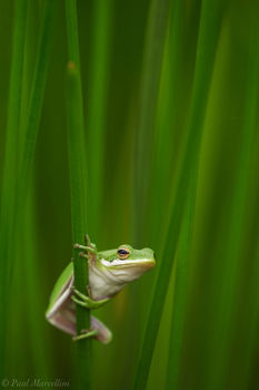 Green Tree Frog, Everglades National Park, Florida