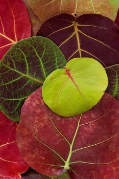 Coccoloba uvifera, sea grape, flora,