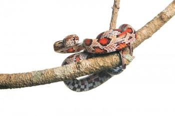 Red Rat Snake, Corn Snake, Pantherophis guttatus guttatus