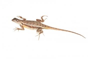 Florida Scrub Lizard, Sceloporus woodi