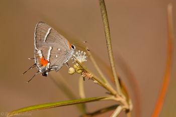 Bartram's Hairstreak, Butterfly, Strymon acis bartrami, pineland croton, croton linearis, Key Deer National Wildlife Ref
