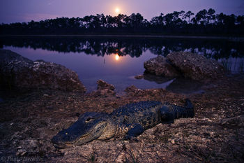 American Alligator, Alligator mississippiensis, moon, everglades