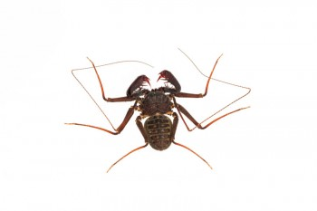 Tailless Whip Scorpion, Phrynus marginemaculatus