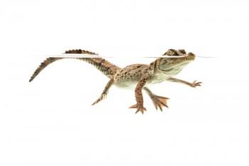 Crocodylus acutus, American Crocodile, hatchling