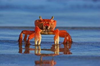 ardisoma guanhumi, blue land crab, florda keys