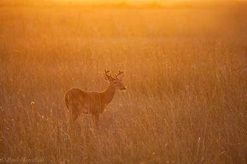 Odocoileus virginianus, everglades national park, white-tailed deer, velvet, deer