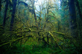 Hoh Rainforest, Olympic National Park, Washington, tree, Big Leaf Maple, Acer macrophyllum