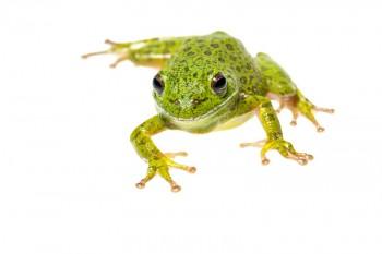Barking Treefrog, Hyla gratiosa