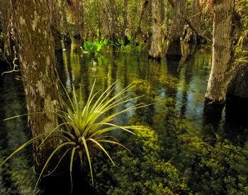 big cypress, tillandsia, swamp, Florida, nature, photography, florida national parks