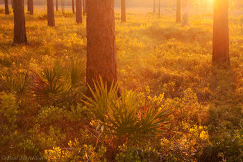 Apalachicola National Forest, Florida, Longleaf Pine, Pinus palustris, sunset, north florida, nature, photography