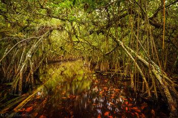Turner River, Big Cypress National Preserve, Florida, mangrove tunnel,
