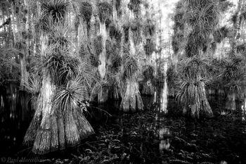 big cypress, bromeliad, swamp, Florida, nature, photography