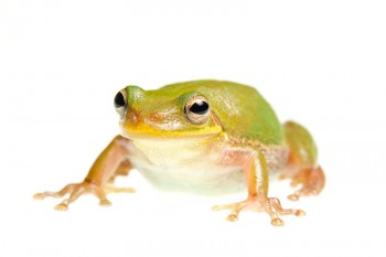 Squirrel Treefrog, Hyla squirella