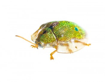 Geiger Tortoise Beetle (Eurypepla calochroma floridensis),Miami,Florida,Geiger Tortoise Beetle